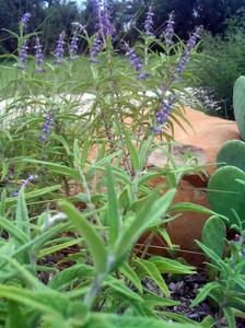 Mexican Bush Sage, aka, Salvia Leucantha