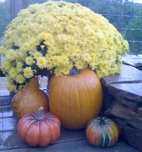Full bloom mum with pumpkins