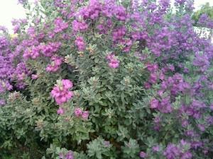 Leucophyllum frutescens 'Compacta' Compact Texas Ranger from ...