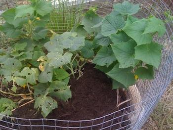cucumber_plant