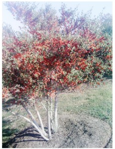 Yaupon Holly tree 1 my landscape design